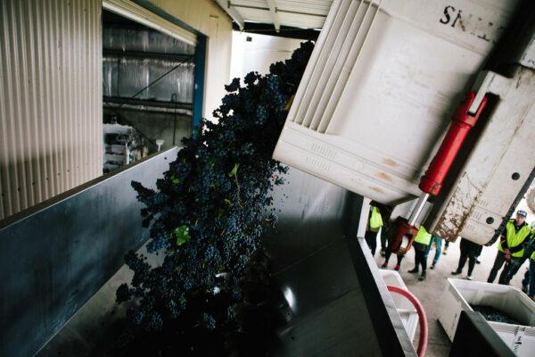 crushing-grapes