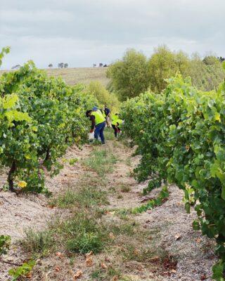 hand picking chardonnay